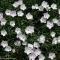 Alpineto: Dianthus petraeus