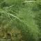 Piante officinali: Foeniculum vulgare Miller
