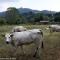 Mucche al parco del Meisino